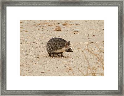 Desert Hedgehog (paraechinus Aethiopicus) Framed Print by Photostock-israel