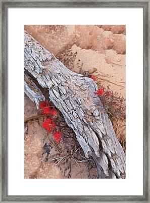 Desert Indian Paintbrush Flowers Framed Print by Chuck Haney
