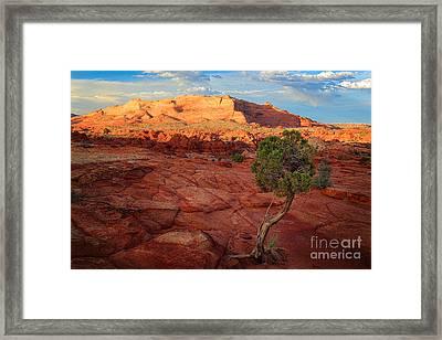 Desert Juniper Framed Print by Inge Johnsson