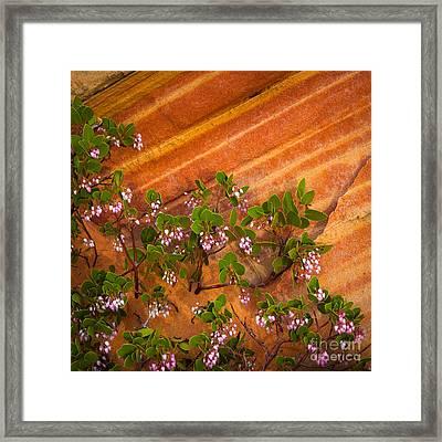 Desert Manzanita Framed Print by Inge Johnsson