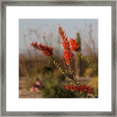 Desert Ocotillo Framed Print