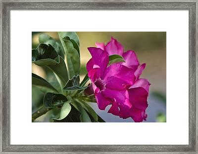 Desert Rose  Framed Print by Saija  Lehtonen