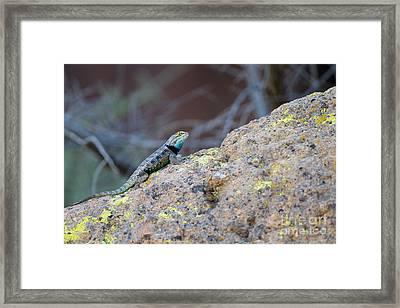 Desert Spiny Lizard Framed Print