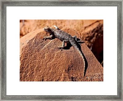 Desert Spiny Lizard Framed Print by Marty Fancy
