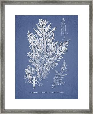 Desmarestia Ligulata Framed Print by Aged Pixel