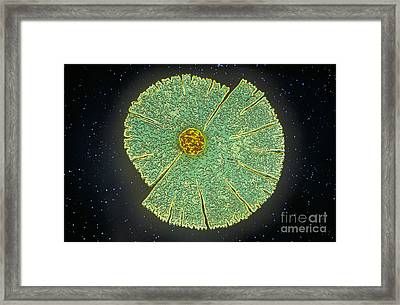 Desmid Algae Framed Print
