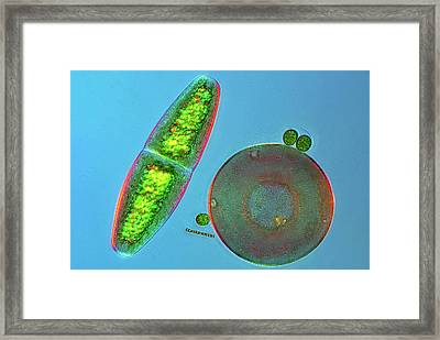 Desmid And Amoeba Framed Print