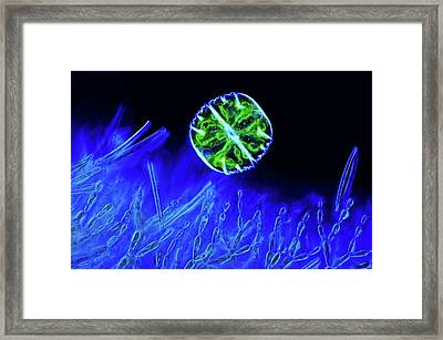 Desmid And Red Algae Framed Print
