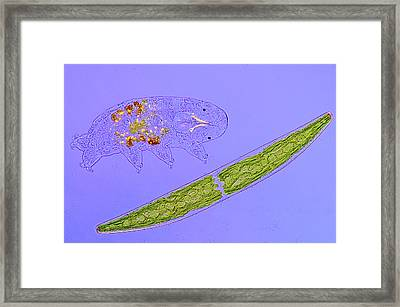 Desmid And Tardigrade Framed Print