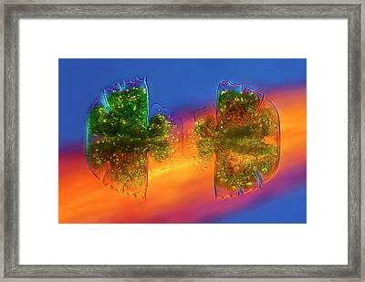 Desmid Dividing Framed Print by Marek Mis