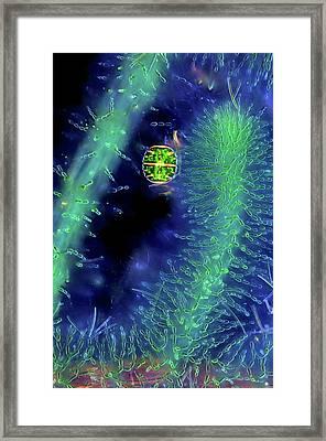 Desmid On Red Algae Framed Print by Marek Mis