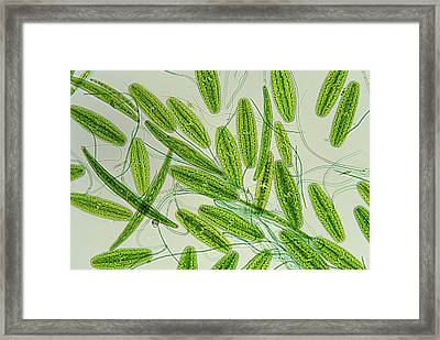 Desmids And Cyanobacteria Framed Print