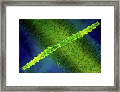 Desmids And Red Algae Framed Print