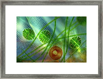 Desmids And Shelled Amoeba Framed Print