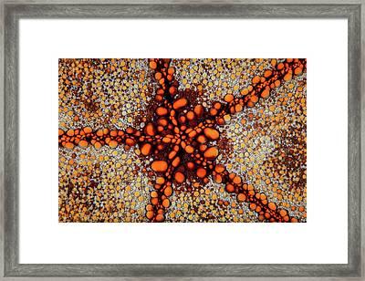 Detail Of A Pin Cushion Starfish Living Framed Print