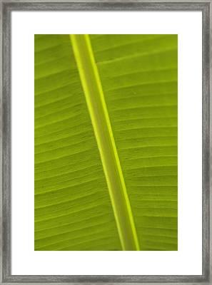 Detail Of Banana Leaf, Blue Mountains Framed Print