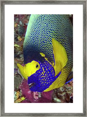 Detail Of Head Of Angelfish, Raja Ampat Framed Print