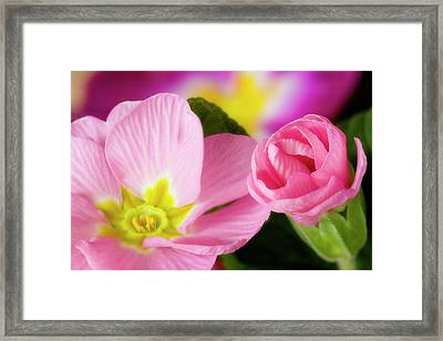 Detail Of Primrose Blossoms Framed Print