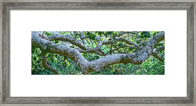 Detail Of Sycamore Tree In A Forest Framed Print