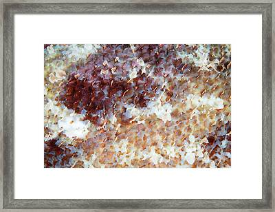 Detail Of The Scales Of A Scorpionfish Framed Print by Ethan Daniels