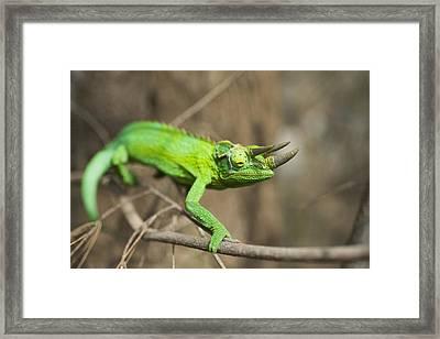 Detail Of Wild Jacksons Chameleon Framed Print
