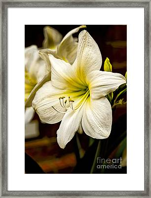 Detailed Amaryllis Framed Print by Dave Bosse