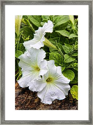 Detailed White Petunias Framed Print by Linda Phelps