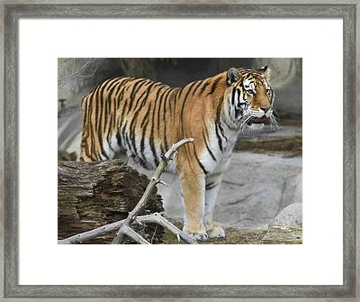 Detroit Tiger 2 Framed Print by Michael Petrick
