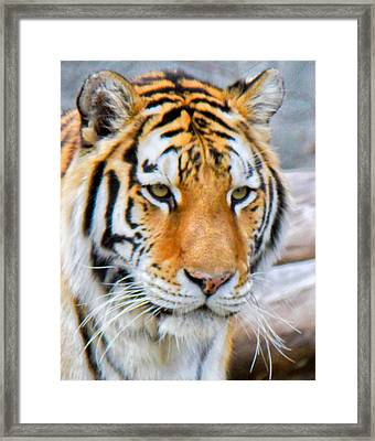Detroit Tiger Framed Print by Michael Petrick