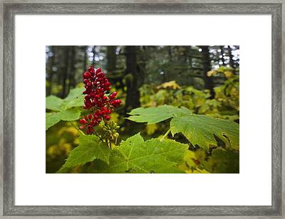 Devils Club Growing Under The Canopy Of Framed Print