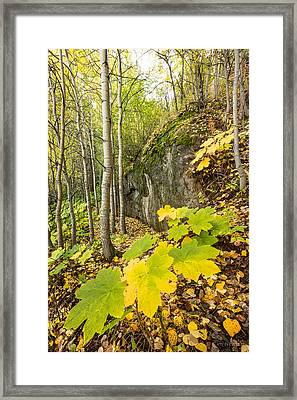 Devil's Club In Fall Framed Print