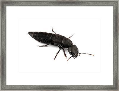 Devil's Coach Horse Beetle Framed Print by Alex Hyde