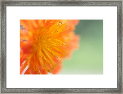 Devil's Paintbrush 3 Framed Print by Jessica Lowell