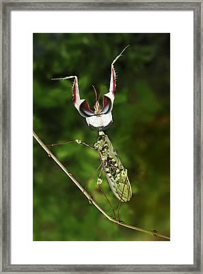 Devils Praying Mantis In Defensive Framed Print by Thomas Marent