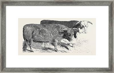 Devon, Class 1, First Prize, 40 Hereford Framed Print