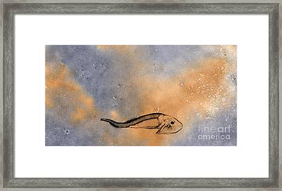 Devonian Hardhead Framed Print by R Kyllo