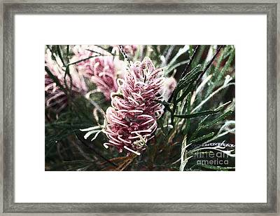Dew Covered Grevillea Framed Print by Cassandra Buckley