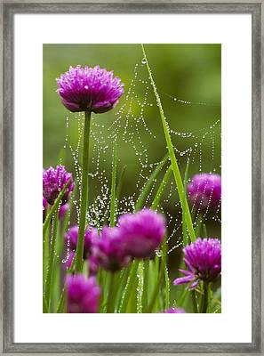 Dew Covered Spider Web On Chive Flowers Framed Print