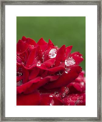 Dew Drops And Red Rose Framed Print by Vishwanath Bhat
