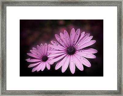 Dew Drops On Daisies Framed Print