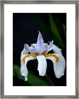 Dew Drops Framed Print by Sandra Sengstock-Miller