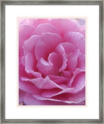 Dew Kissed Rose Framed Print