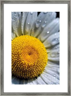 Sunshine Of Your Love - Daisy Framed Print
