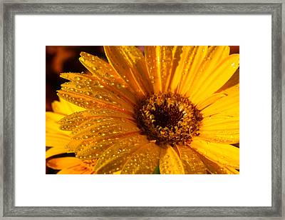 Framed Print featuring the photograph Dew On A Daisy by Richard Stephen