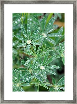 Dew On Leaves Framed Print