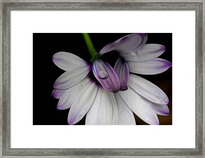 Dew On The Daisy Framed Print