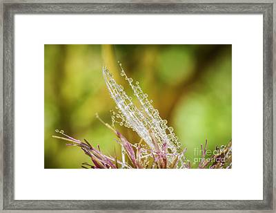 Dew On The Thistle Framed Print by Mitch Shindelbower