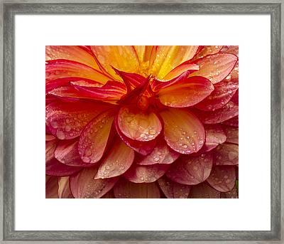 Dewy Dahlia Framed Print by Jean Noren