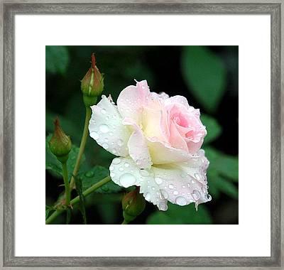 Dewy Rose Framed Print by Paula Marie deBaleau