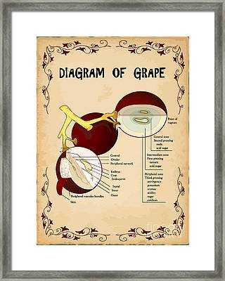 Diagram Of Grape Framed Print by Indian Summer